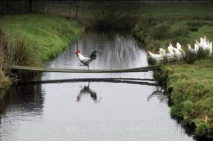 Chicken cross bridge