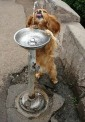 Dog drinks water
